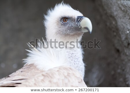 White young baby vulture Stock photo © stefanoventuri