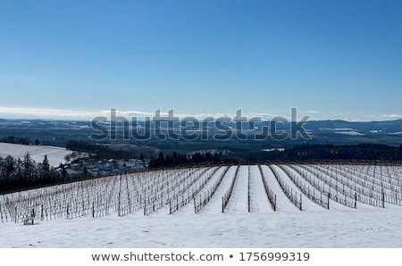 Snow covered vineyards stock photo © FreeProd