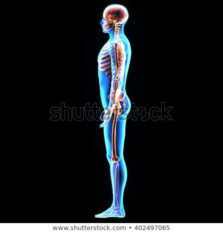 Male Torso with Muscles and Organs - Back View stock photo © AlienCat