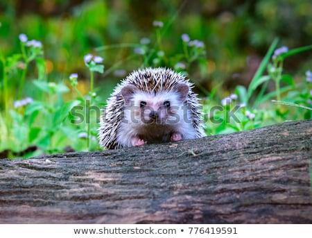 Little Hedgehog in Love Stock photo © cthoman
