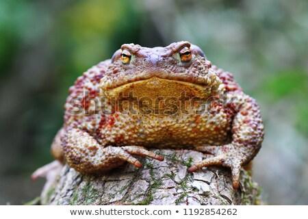 cute Bufo on stump Stock photo © taviphoto