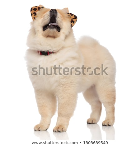 chow chow wearing animal print headband and collar looks up Stock photo © feedough