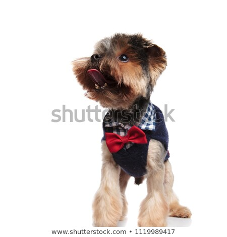 puppy  wearing bowtie looks to side  Stock photo © feedough