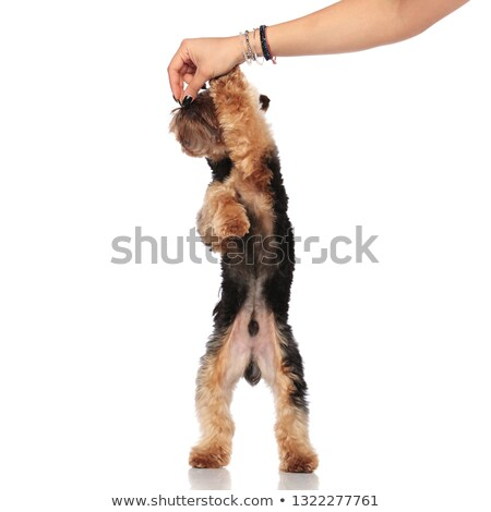 adorable yorkshire terrier playing with human hand while standin Stock photo © feedough