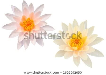 Agua Lily aislado blanco superior vista Foto stock © szefei