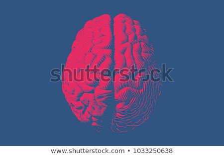 頭 オルガン 人間の脳 先頭 表示 ヴィンテージ ストックフォト © pikepicture
