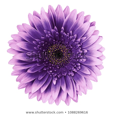 Violet flower head Stock photo © RuslanOmega