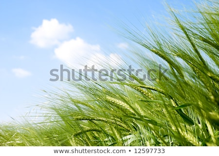 Detail Of Field With Green Spring Grains Stock fotó © italianestro