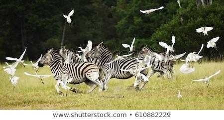 Zebrák park Ruanda természet utazás fekete Stock fotó © ajlber