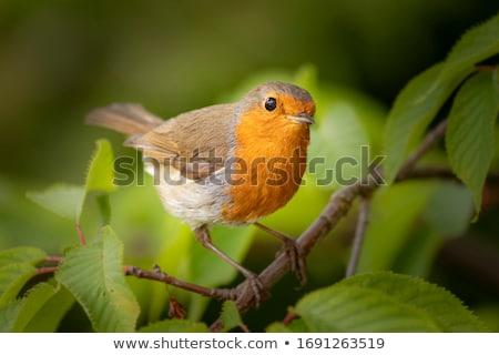 avrupa · oturma · ağaç · doğa · kuş · kış - stok fotoğraf © dirkr