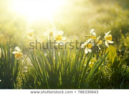 весенние цветы нарциссов солнечный свет магия свет Сток-фото © dariazu