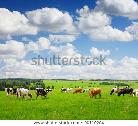 group of cows grazing on the meadow Stock photo © meinzahn