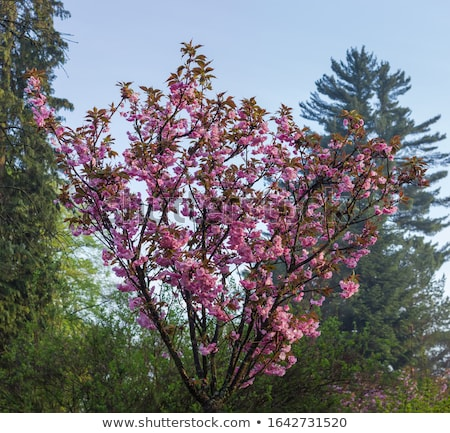 Prunus Serrulata - Tree Stock photo © Kayco