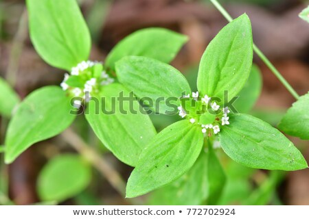 Small white flowers of Spermacoce Ocymoides Stock photo © Yongkiet