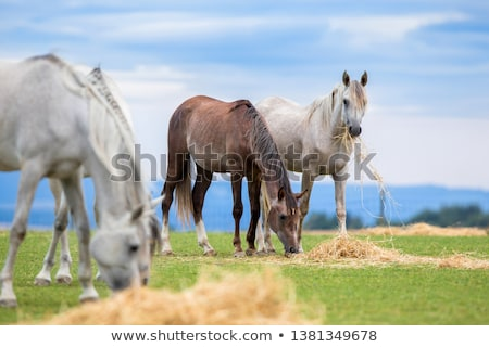 White Horse Eating Grass stock photo © rhamm