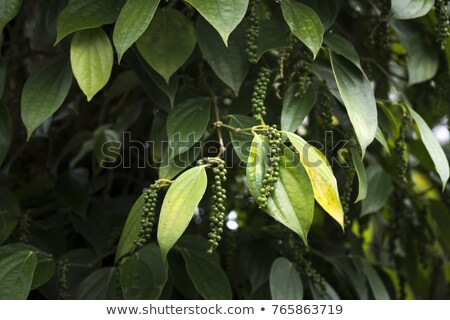 Row of Organic Black pepper. Stock photo © ziprashantzi