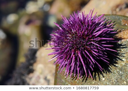 purple sea urchin Stock photo © Hofmeester