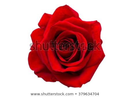 piros · rózsa · gyönyörű · izolált · fehér · virág · rózsa - stock fotó © vapi