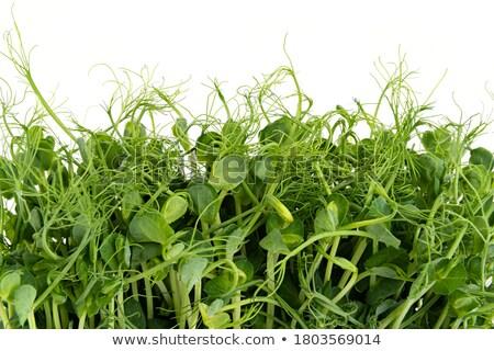 peas sprouts   Stock photo © avq