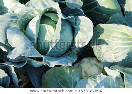 Stock fotó: Friss · kék · káposzta · izolált · fehér · levél