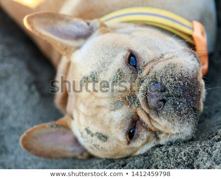 french bulldog lying down in sandy beach stock photo © yhelfman