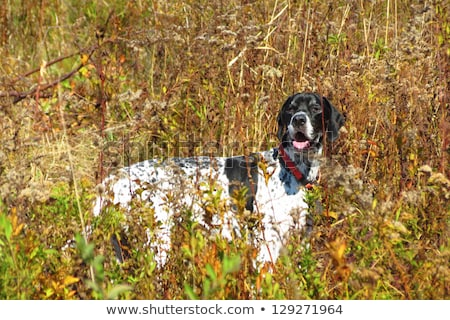 Hunting dog - Outdoor sports. Hunter's dog in the woods Stock photo © lightpoet