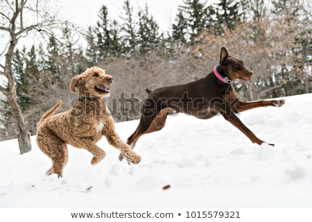friendly brown doberman dog and golder doodle on snow outdoor at winter season stock photo © lopolo