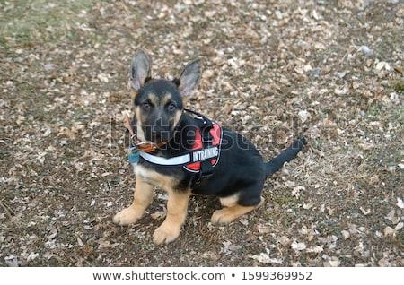 Kurtarmak köpek çoban yelek sevimli hayvan Stok fotoğraf © lenm