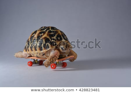 Schildpad skateboarding witte illustratie glimlach gelukkig Stockfoto © colematt