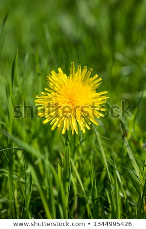 yellow dandelions amongst green herb     stock photo © basel101658