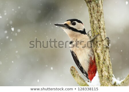 Great Spotted Woodpecker in snow Stock photo © suerob