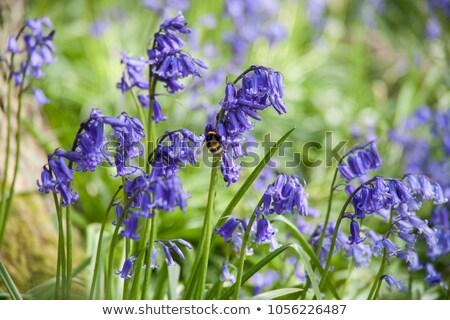 native english bluebells stock photo © leeavison