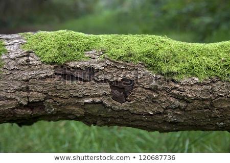 scar on a tree trunk stock photo © taviphoto