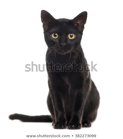 Fekete macska fiatal ül fehér űr tiszta Stock fotó © zittto