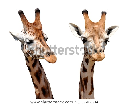 жираф · голову · Серенгети · тело - Сток-фото © kmwphotography