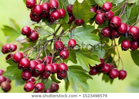 Poucos isolado branco macro fruto Foto stock © digitalr