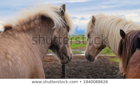 two brown horse in enclosure Stock photo © artush