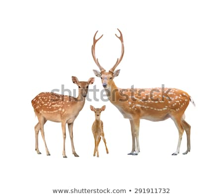 male sika deer isolated  stock photo © anan