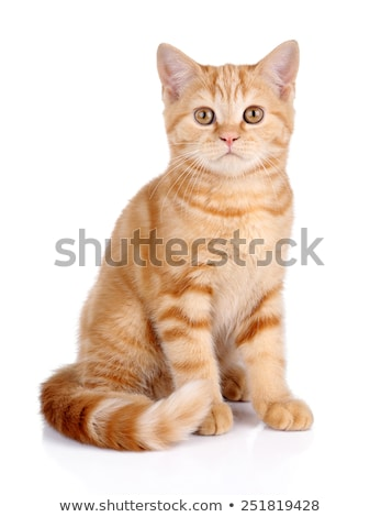 Sad looking ginger kitten with a white background Stock photo © dnsphotography
