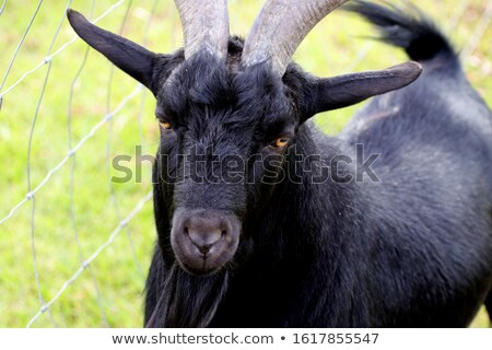 black goat from the small farm stock photo © jonnysek