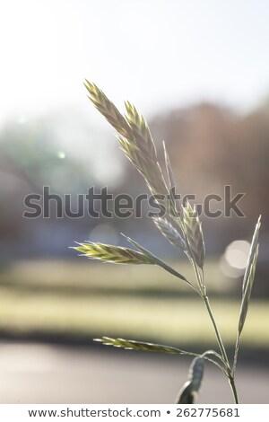 Spring - Overgrown grass with seeds in neighborhood Stock photo © dgilder