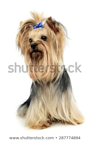 cute yorkshire terrier in a wehite studio stock photo © vauvau