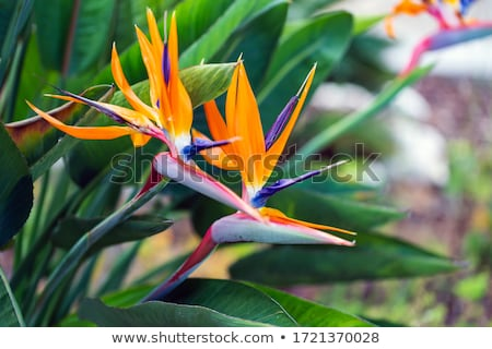 detail of colorful strelitzia  Stock photo © meinzahn