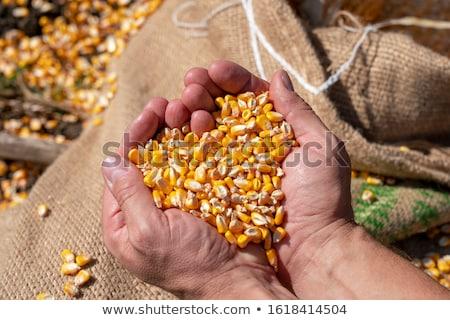 トウモロコシ シード 白人 女性 農家 ストックフォト © stevanovicigor