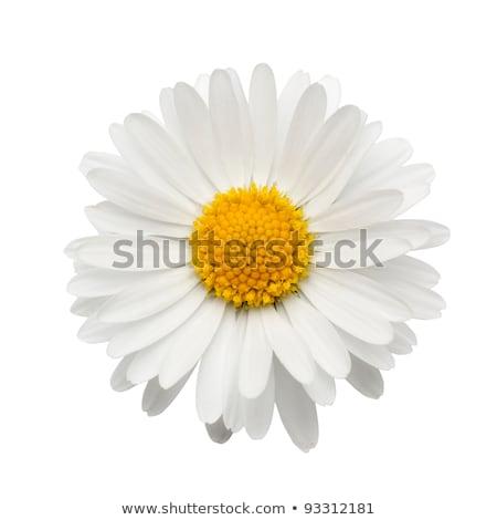 Daisy · flor · alto · clave · suave - foto stock © Kidza