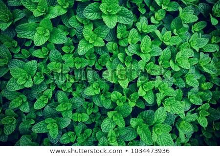 Taze yeşil nane bitkiler büyüme alan Stok fotoğraf © Virgin