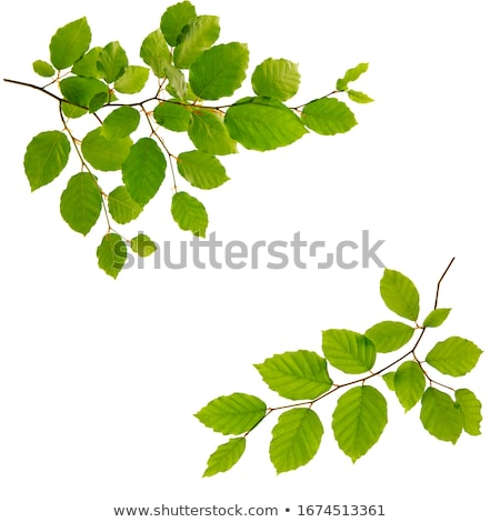 Branch of green beech leaves. Isolated on white  Stock photo © rufous