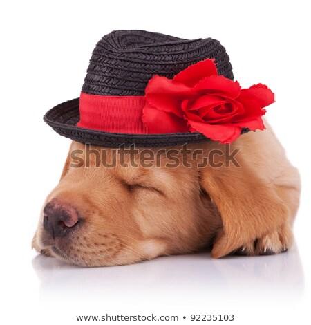 çok güzel golden retriever siyah şapka beyaz Stok fotoğraf © feedough