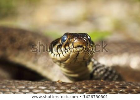 macro · retrato · grama · serpente · cabeça · colorido - foto stock © taviphoto