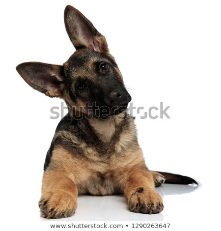 cute shepard dog leans its head to side while resting Stock photo © feedough